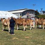Senior Champion Cow Line Up