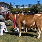 Senior Champion Cow - Brookleigh Legend Invisible,  Stuart Moore